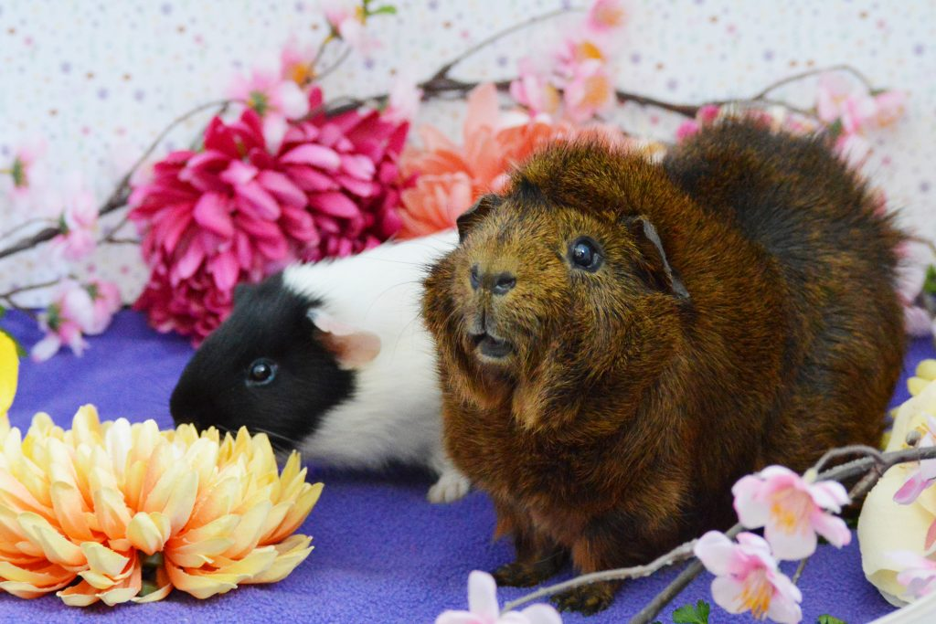 Guinea pigs Apollo and Dante Wigglebottom